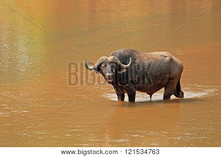 African buffalo (Syncerus caffer) standing in a river, Kruger National Park, South Africa