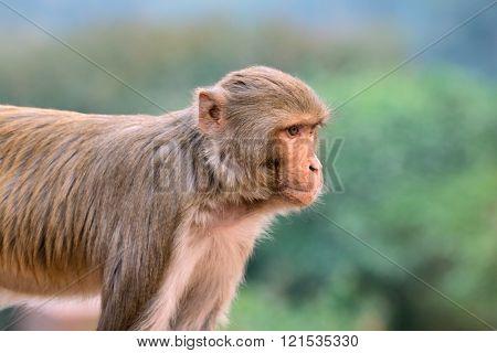 Portrait of a rhesus macaque monkey (Macaca mulatta), India