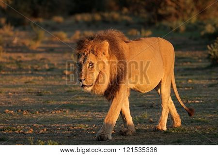 Big male African lion (Panthera leo) in early morning light, Kalahari desert, South Africa