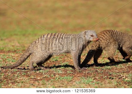 Banded mongooses (Mungos mungo), southern Africa