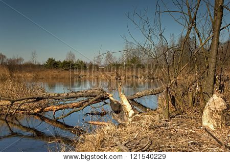 Pond in early spring and the trees cut down by beavers