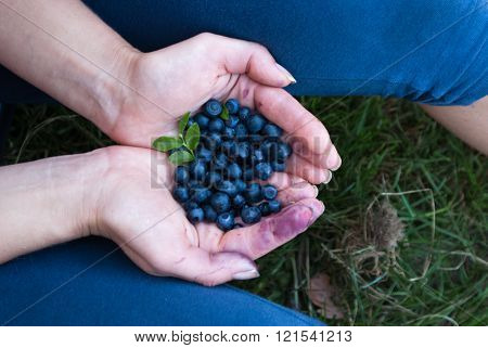 Gathering Blueberries In The Forest