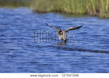 Yellow Billed Duck Landing On A Pond Of Water