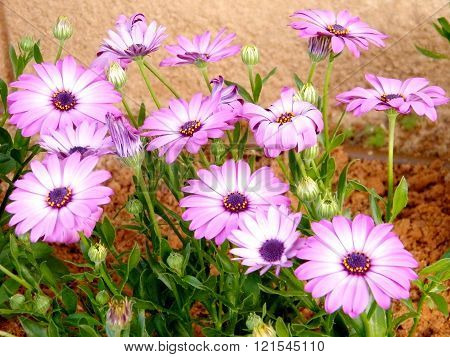 Carpet of Purple Osteospermum in Or Yehuda Israel