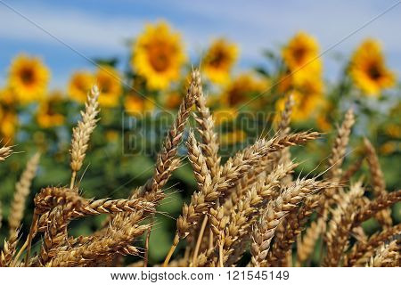 Wheat And Sunflower Field
