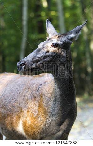 Wary Eye On The Female Deer