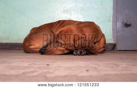 Stray dog breed dachshund
