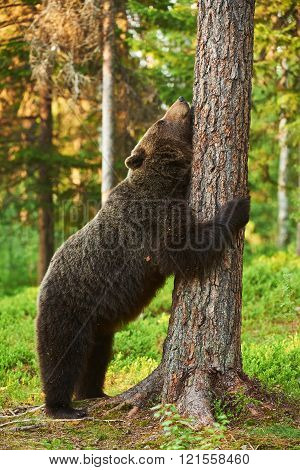 Brown Bear Leaning Against A Tree