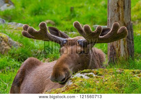Male moose lying behind a rock with nice antlers
