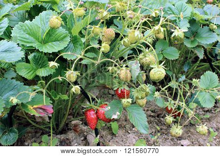Strawberries ripens on the bush in the garden