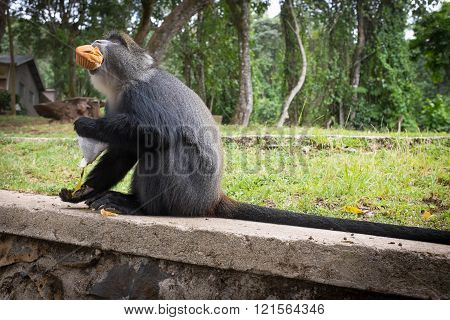 Blue Monkey Eats A Muffin