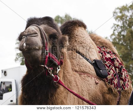 poor tired circus camel during transportation to diverse zoo