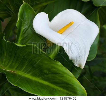 White Calla Lily with Green Foliage