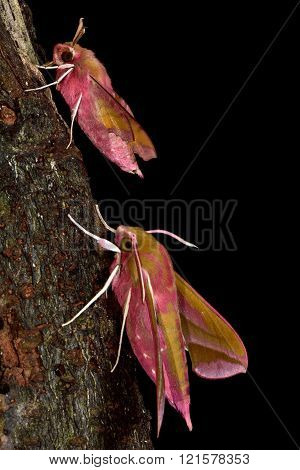 Small elephant hawk-moth (Deilephila porcellus) and elephant hawk-moth (D. elpenor)