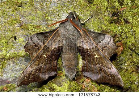 Poplar hawk-moth (Laothoe populi) from above