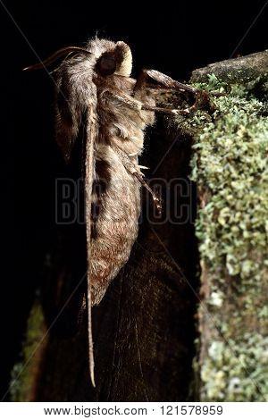 Pine hawk-moth (Hyloicus pinastri) in profile