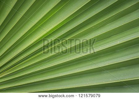 Closeup of Green Palm Leaves