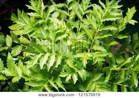 Valerian Plant In Garden