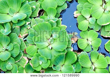 Green Floating Plant