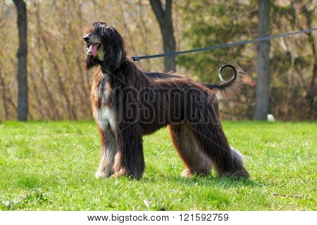 Dog Breed Afghan Hound Stands