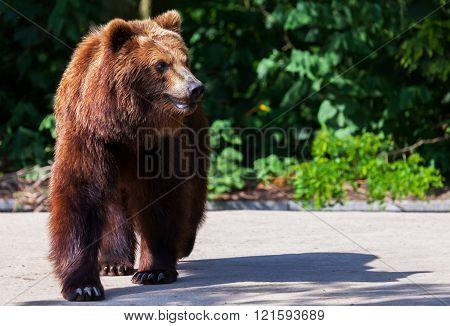 Brown Bear Walks Arround In His Territory