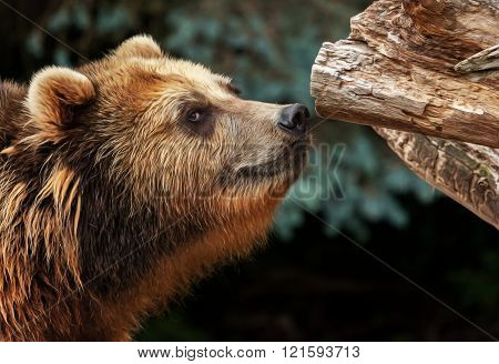 Male Brown Bear Snuffles On Piece Of Wood