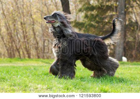 Beautiful Afghan Hound Dog Runs