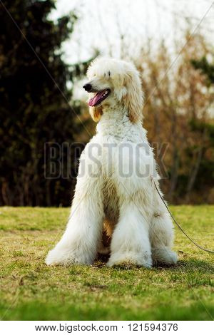Dog Afghan Hound Sitting