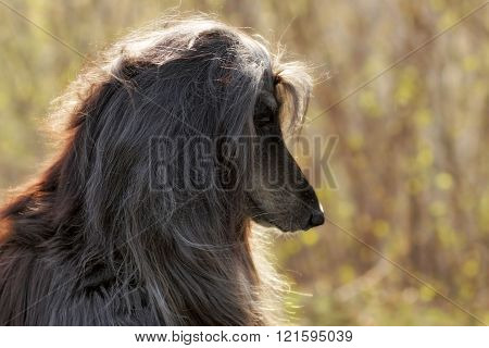 Beautiful Afghan Hound Dog