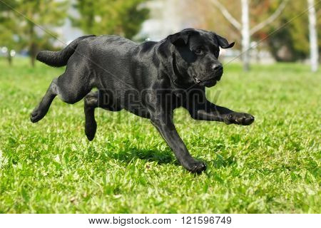Black Labrador Runs Across The Grass