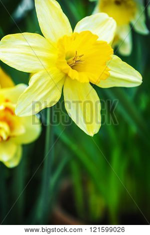 Blooming Narcissus in the garden close-up. shallow depth of field. Soft focus