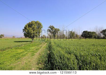 Crops In Rural Punjab