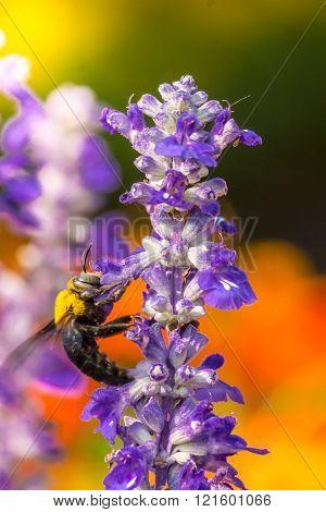 Carpenter Bee flying in garden.
