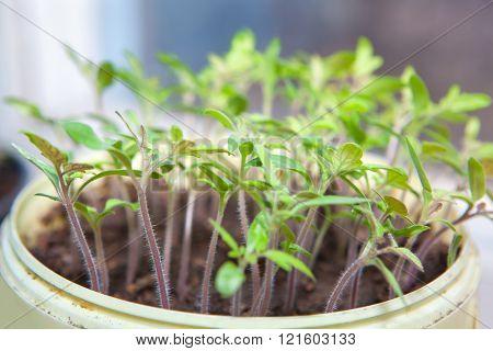 seedlings in a flowerpot