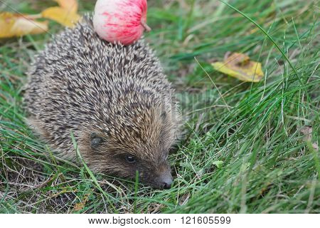Spiky hedgehog harvester carrying red apple on its back
