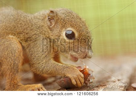 Little plantain squirrel in captivity eating a cockroach