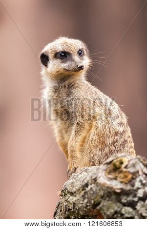 One Meerkat Sits On Wood And Looks To The Right