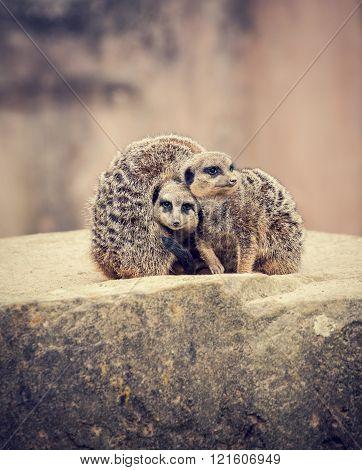 Three Meerkats Huddle Together On A Stone