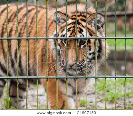 One Tiger Looks Behind The Compound Fence