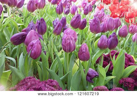 Tulip. Beautiful Bouquet Of Tulips