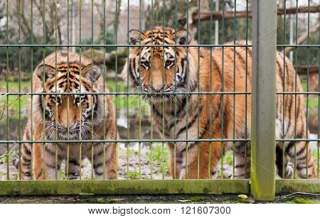 two tigers looking behind the compound fence