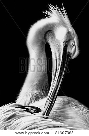 Pelican Dressing His Feathers In Black And White