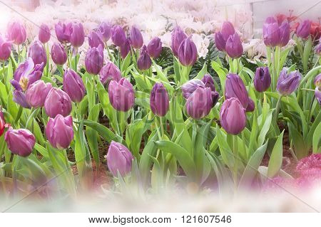 Tulip. Beautiful Bouquet Of Tulips
