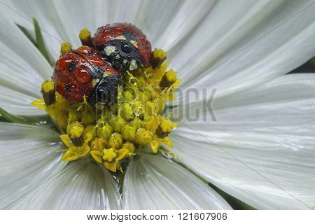 Two Ladybug, On Flower With Dewdrop
