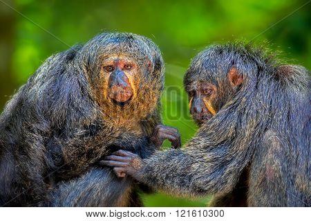 Two Saki Monkeys