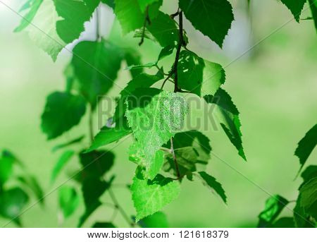 Spring Birch Branch