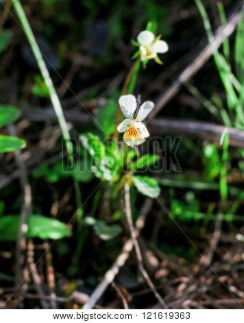 Nice Wild Viola Tricolor