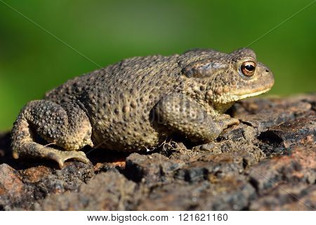 Common toad (Bufo bufo) in profile