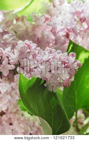 Fresh Spring Lilac