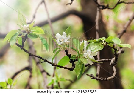 Apple Spring Blossom